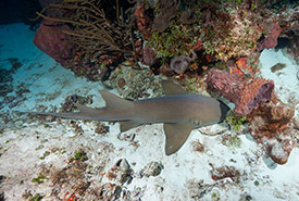 Nurse shark (Photo by Mike Jacobs)