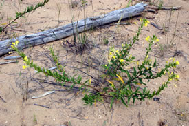 Yellow evening primrose (Photo © Manitoba Museum)