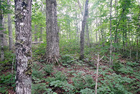 Old-growth forest (Photo by NCC)