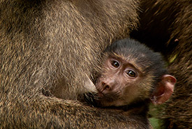 Olive baboon (Photo by Bart Wursten, CC-BY-NC)