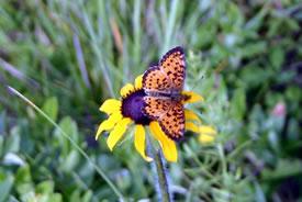 Orange butterfly on black-eyed Susan (Photo by Diana Bizecki Robson)