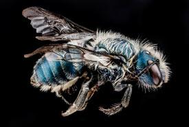 A mason bee (<i>Osmia distincta</i>) (Photo by USGS Bee Inventory and Monitoring Lab)