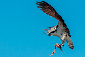 Osprey brings fish to hungry babies (Photo by Lorne)