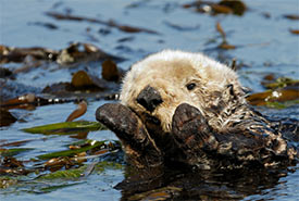Otter (Photo by OndagoArts from Getty Images/Canva)