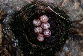 Prothonotary warbler nest (Photo by Jody Allair)
