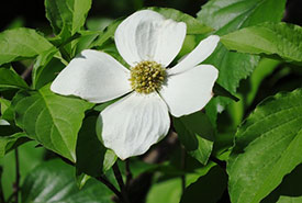 Pacific dogwood (Photo by hillanddale, CC BY-NC 4.0)