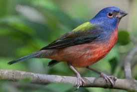 Painted bunting (Photo by Doug Janson/Wikimedia Commons)