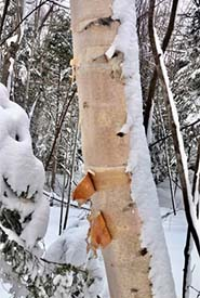 Paper birch (Photo by Marilyne Busque-Dubois, CC BY-NC 4.0)