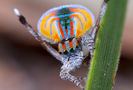 Peacock spider (Photo by Jurgen Otto, Wikimedia Commons).