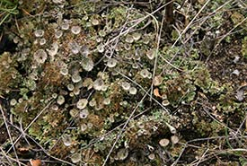 Pebbled pixie-cup lichen (Photo courtesy of Manitoba Museum)