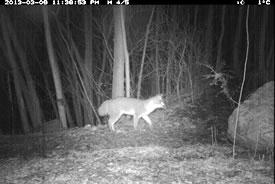 Gray fox on Pelee Island, ON (Photo by NCC)