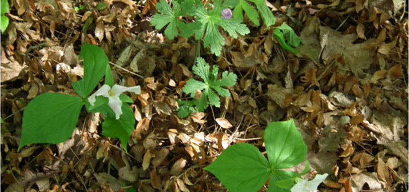 Wild geranium and white trillium happily growing where periwinkle was removed.