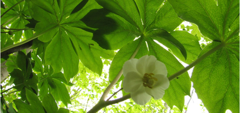 This is what we want more of – mayapple!