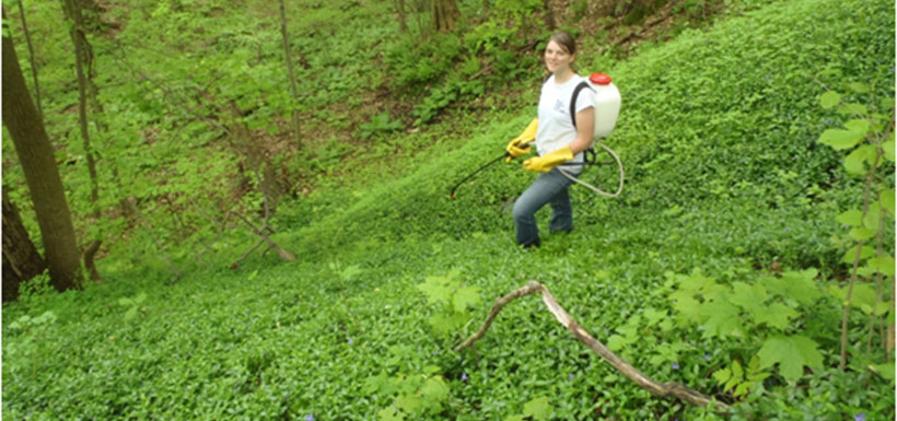 Spraying the sea of periwinkle: NCC staff are licensed to use regulated herbicides. (Photo by NCC)