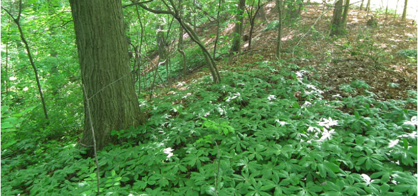 And the same area again in May 2012, showing a riot of native mayapple. This particular patch also now supports trillium and wild geranium.
