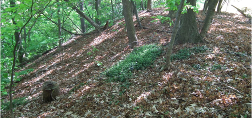This photo, also May 2012, from a slightly different angle, illustrates the importance of frequent and thorough follow-up monitoring after we have done some work such as removing an invasive plant. This small patch was missed by the spray.