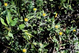 Gumweed (Photo by Gail F. Chin)