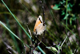 Orange and cream-coloured butterfly (Photo by Gail F. Chin)
