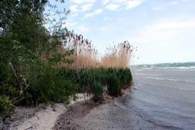 Invasive non-native phragmites on Pelee Island (Photo by NCC)