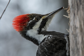 Pileated woodpecker female foraging on a dead stand. (Photo by Claire Elliott)