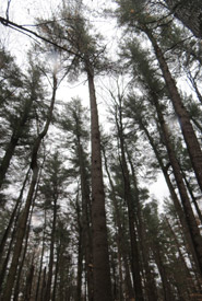 Pines are so high from the ground it is difficult to see their topmost branches. (Photo by Nancy Silcox)