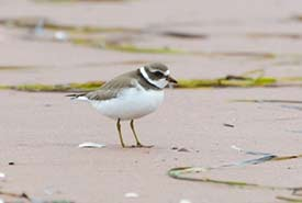 Beach clean-ups can help species at risk such as the piping plover (Photo by Sean Landsman)