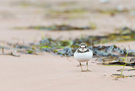Piping plover (Photo by Sean Landsman)