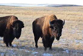 Plains bison (Photo by NCC)
