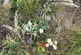 Plants at Fairy Hill, SK (Photo by NCC)
