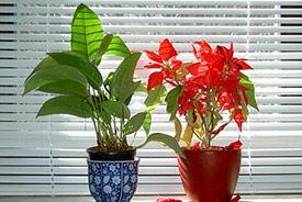 Office plants (Photo by J. Pilsack, Wikimedia Commons)