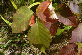 Poison ivy (Photo by Ben, CC BY-NC 4.0)