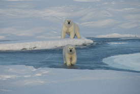 Polar bear mother and cub (Photo by NCC)