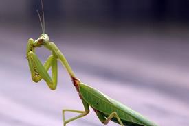 Praying mantis (Photo by Shiva Shankar/Wikimedia Commons)