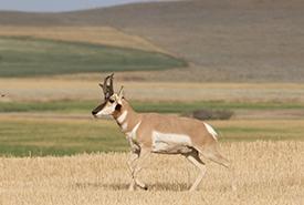 Pronghorn (Photo by Liam Ragan, CC BY-NC 4.0)