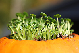 An alternative gardening use for your old pumpkin is to fill it with soil and use it as a container for potted plants that you're planning on transplanting after the winter. (Photo from Creative Commons)