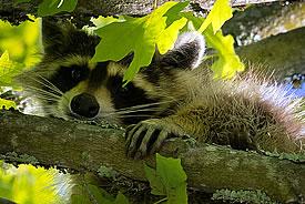 Raccoon (Photo by Ken Thomas/Wikimedia Commons)