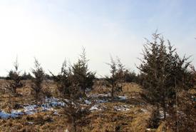 Red cedar encroaching on the alvar (Photo by NCC)