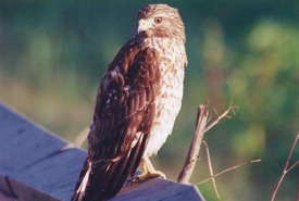 This hawk lives in closed canopies such as those found in Happy Valley and thrives on small mammals and birds. (Photo by Dr. Henry Barnett)