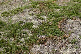 In the Prairies, reindeer lichens often grow along with creeping juniper on dry, sandy soils. (Photo courtesy of Manitoba Museum)
