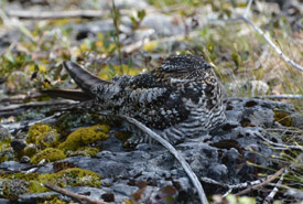 Common nighthawk resting on its nest (Photo by NCC)
