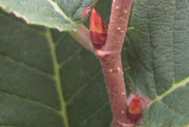 Buds of rock elm branch (Photo by Bill Moses)