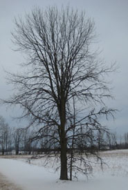 Rock elm in the winter (Photo by Bill Moses)