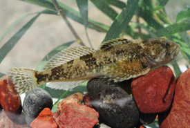 Rocky Mountain sculpin (Photo by Fisheries and Oceans Canada)