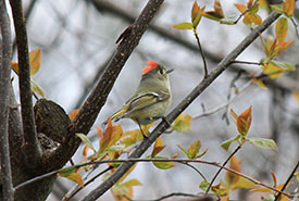 Ruby-crowned kinglet (Photo by Pia Vahabi/NCC staff)