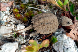 Recently hatched snapping turtle (Photo by Sasha McCormick)
