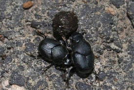 Scooped scarab (Photo by melissa_m79, CC BY-NC 4.0)