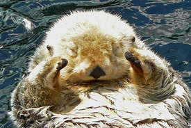 Sea otter, Vancouver Aquarium (Photo by Wikimedia Commons, Stan Shebs)