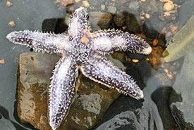 Sea star (Photo by Samantha Ceci)