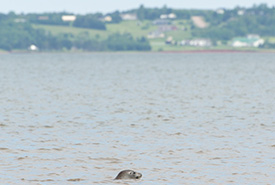 A seal in the Northumberland Strait (Photo by Sean Landsman)