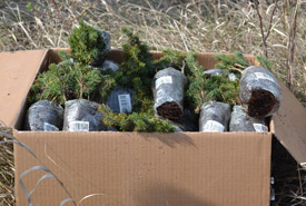 Seedlings ready to be planted (Photo by NCC)